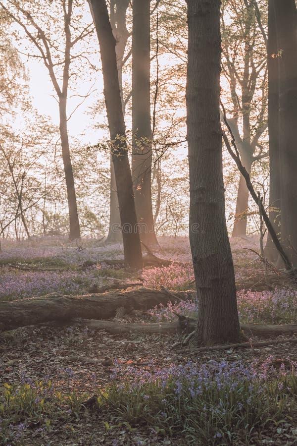 Lever de soleil dans la forêt de jacinthe des bois images libres de droits