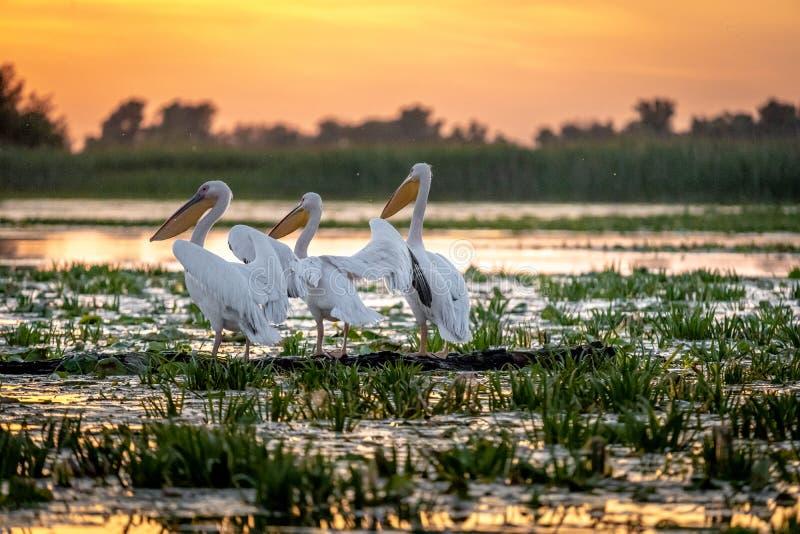 Lever de soleil dans le delta de Danube avec la colonie d'oiseaux de pélican photographie stock libre de droits