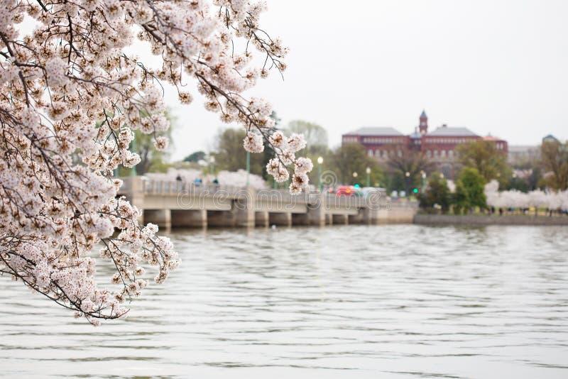 Lever de soleil de C.C de Cherry Blossoms Washington photos stock