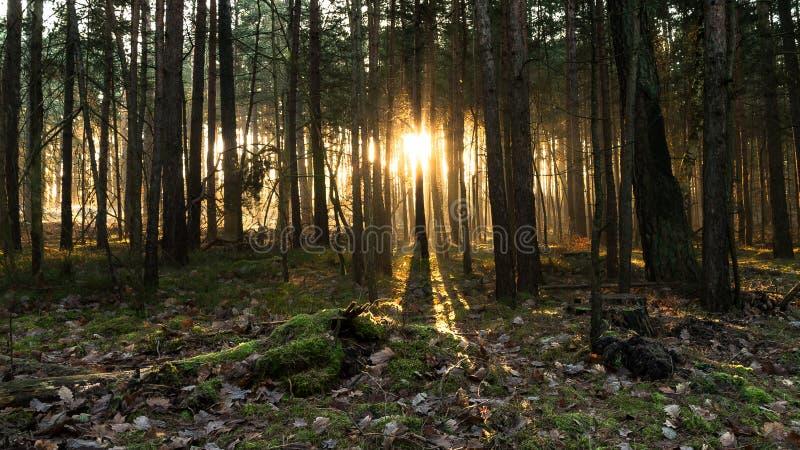 Lever de soleil de forêt photos stock