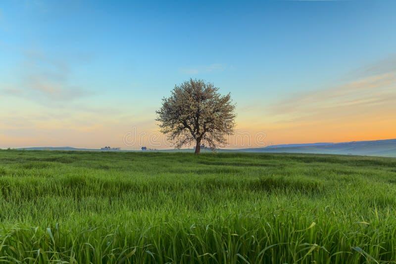 Lever de soleil de ressort Entre Pouilles et Basilicate : paysage vernal avec le champ de blé l'Italie photographie stock libre de droits