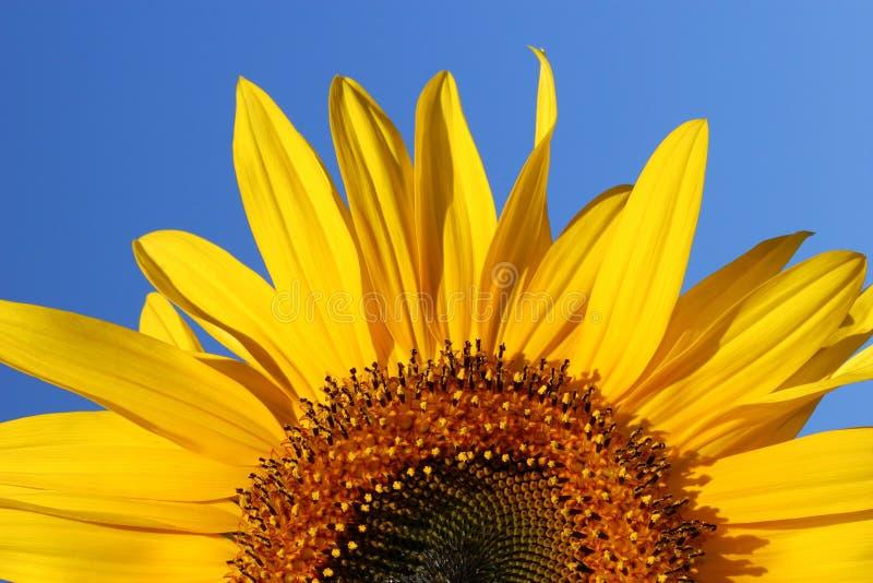 Lever de soleil de tournesol photographie stock