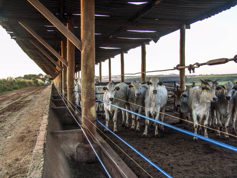Lever de soleil des bétail sur l'emprisonnement image libre de droits