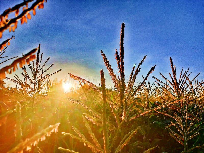 Lever de soleil entre la fleur du maïs images libres de droits