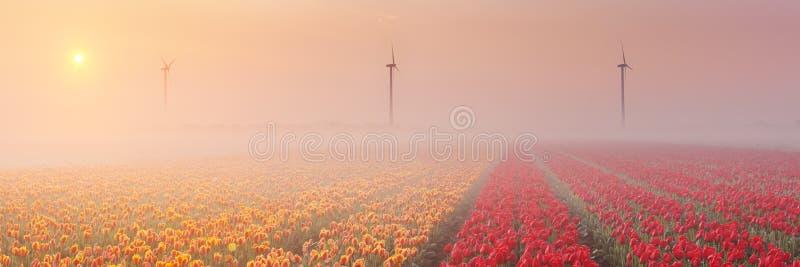 Lever de soleil et brouillard au-dessus des tulipes de floraison, Pays-Bas photographie stock libre de droits