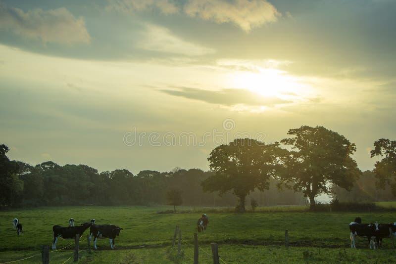 Lever de soleil et vaches images libres de droits