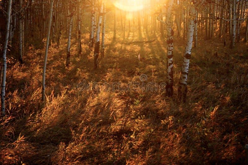 Lever de soleil ombragé de bouleau orange photographie stock