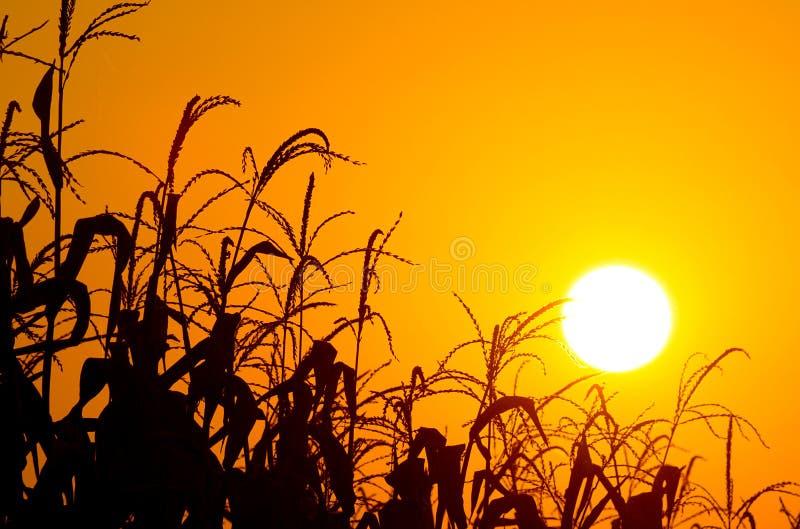 Lever de soleil orange brillant au-dessus d'une zone de maïs photos stock