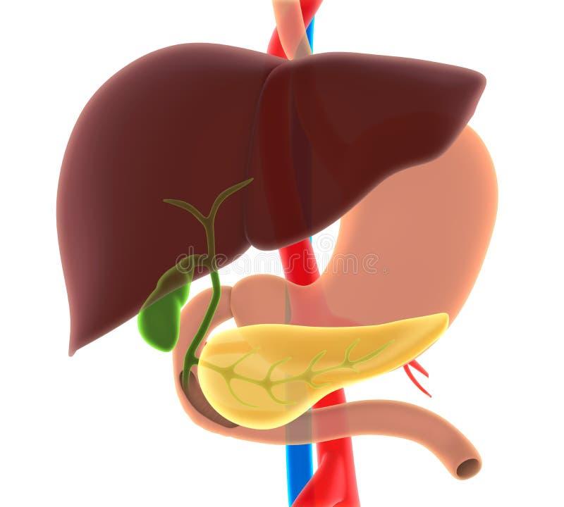 Lever, Gallbladder och bukspottkörtelanatomi vektor illustrationer