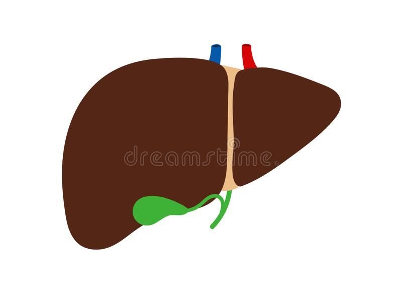 Lever och gallbladder som isoleras på den vita bakgrundsvektorn royaltyfri illustrationer