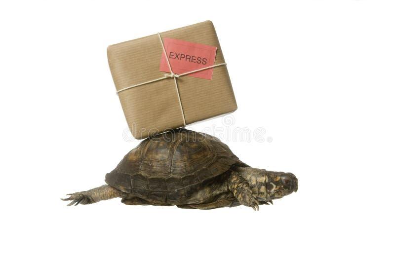 Leveranssköldpadda arkivbild