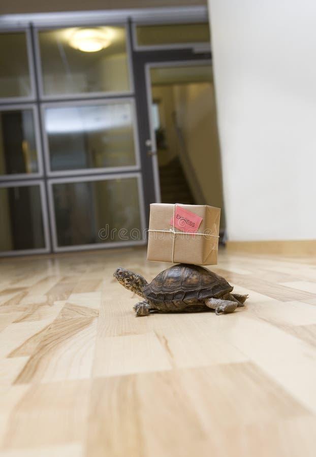 leveranssköldpadda fotografering för bildbyråer