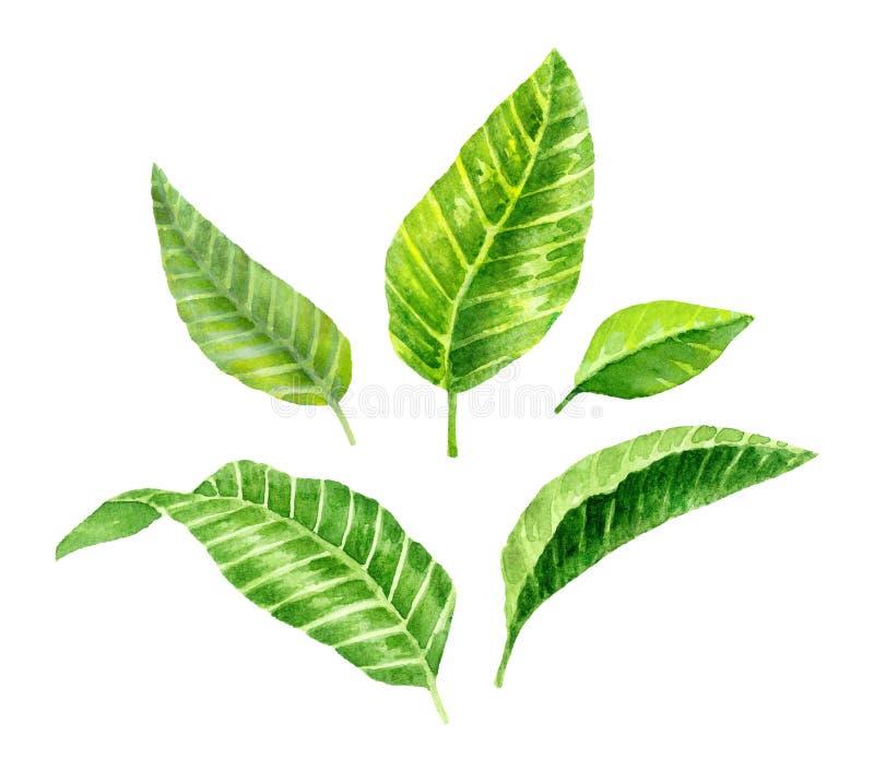 Leves verts frais Branche de l'arbre fruitier Brunch d'Apple photographie stock