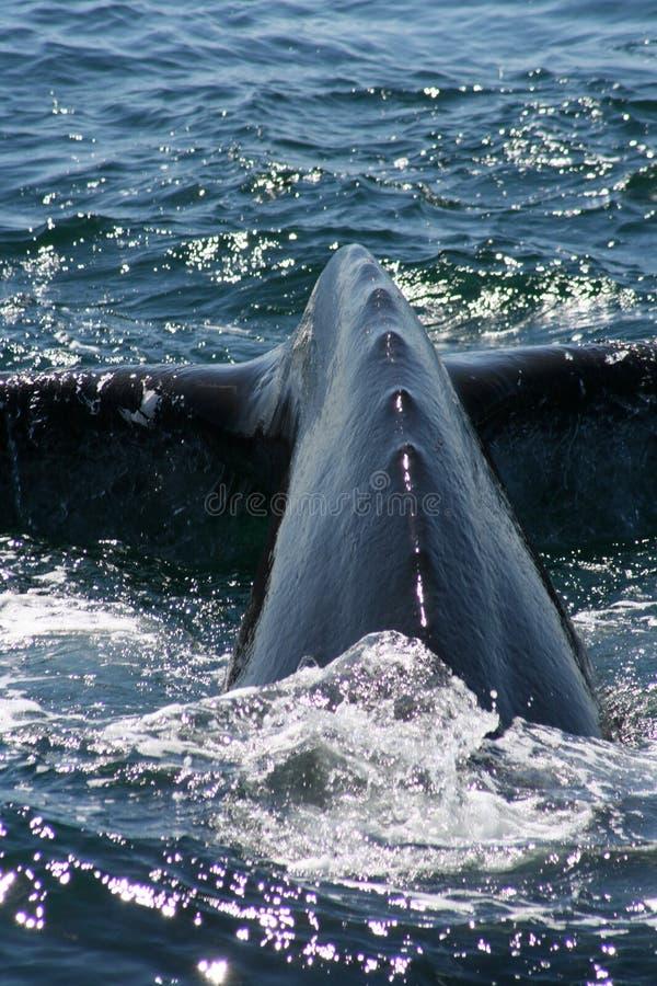 Leviathan stockbilder
