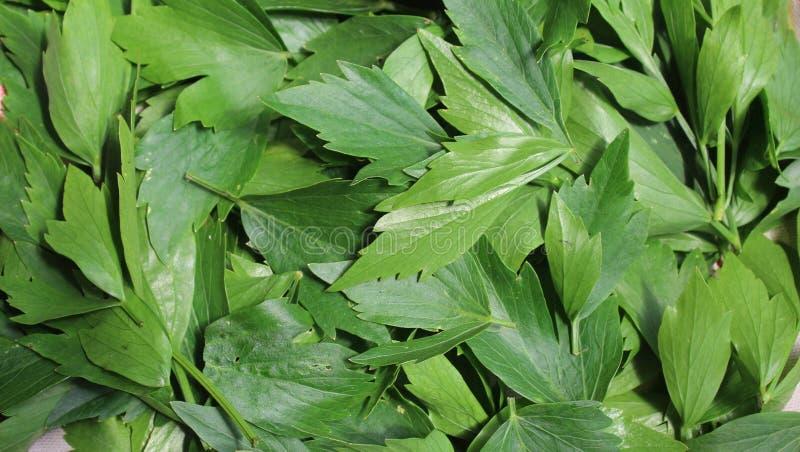 Levisticum officinale, allgemein genannt Liebstöckelanlage, Kräuter, Gewürze, Blätter, bereitend für das Trocknen vor lizenzfreie stockfotos