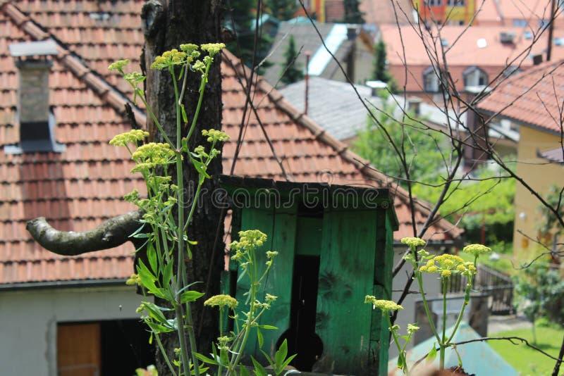 Levisticum officinale, powszechnie nazwana lubczykowa roślina w ogródzie, liście i kwiat, przyszłość ziarna w mój organicznie ogr obrazy stock