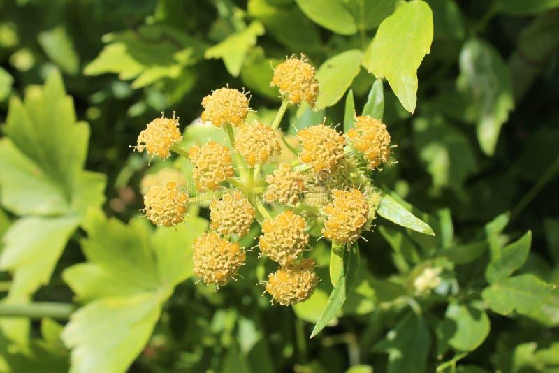 Levisticum officinale, powszechnie nazwana lubczykowa roślina w ogródzie, liście i kwiat, przyszłość ziarna w mój organicznie ogr zdjęcie royalty free