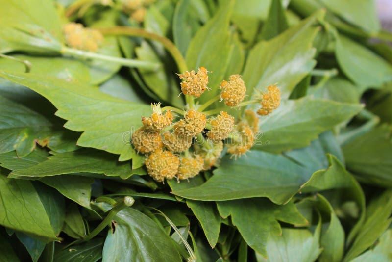 Levisticum officinale, powszechnie nazwana lubczykowa roślina, ziele, pikantność, liście i kolorów żółtych kwiaty, ziarna, przygo obraz royalty free