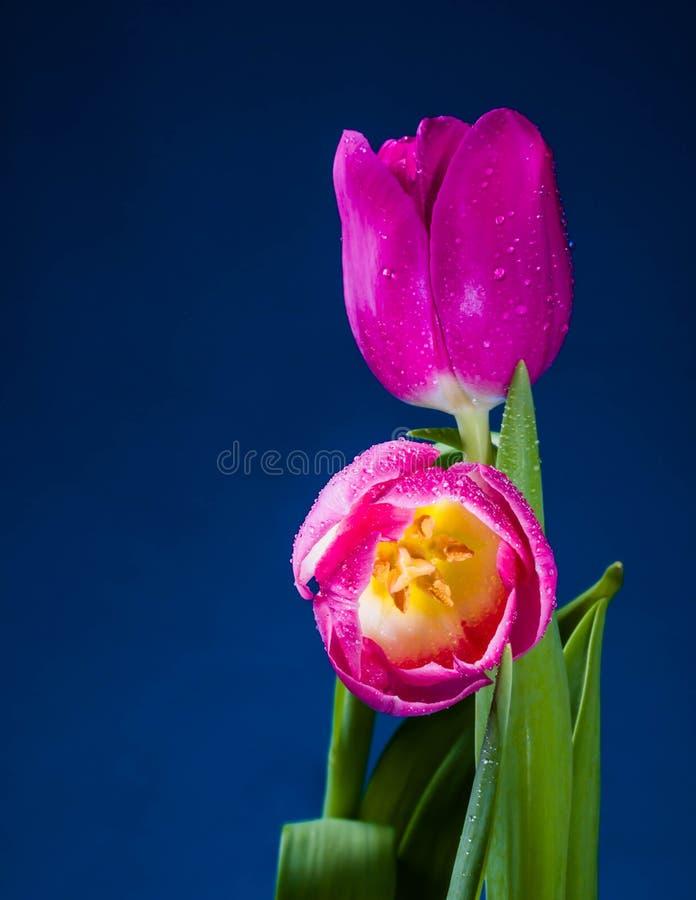 Levitatie ondergaand purpere tulpen tegen oud concreet water als achtergrond bespat verse beweging royalty-vrije stock afbeeldingen