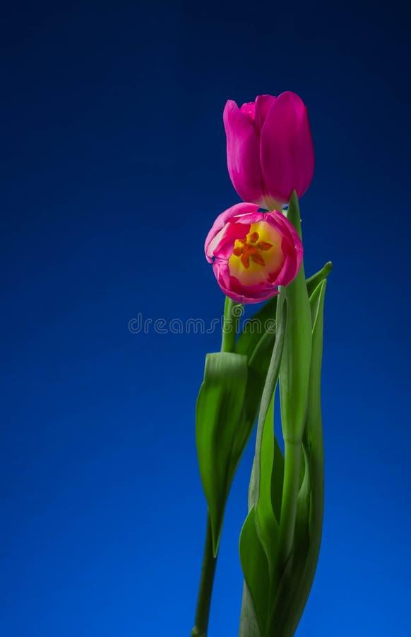 Levitatie ondergaand purpere tulpen tegen oud concreet water als achtergrond bespat verse beweging royalty-vrije stock afbeelding