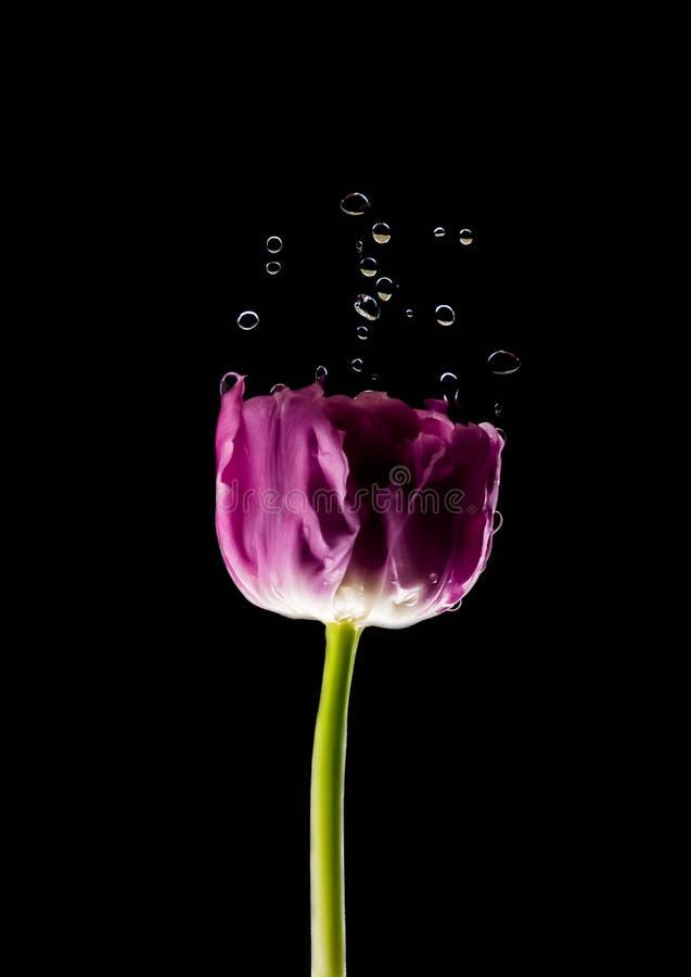 Levitatie ondergaand purpere tulpen tegen oud concreet water als achtergrond bespat verse beweging royalty-vrije stock foto's