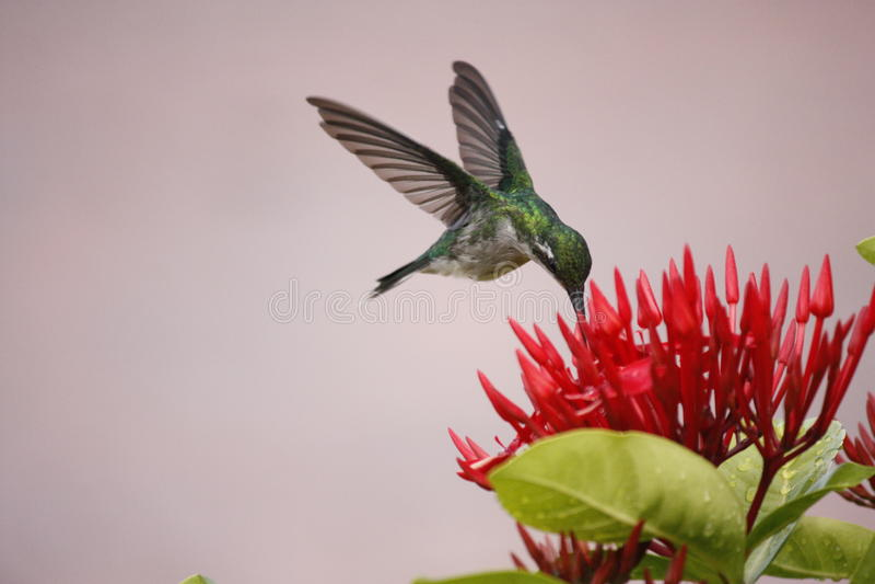Levitating do pássaro do zumbido foto de stock