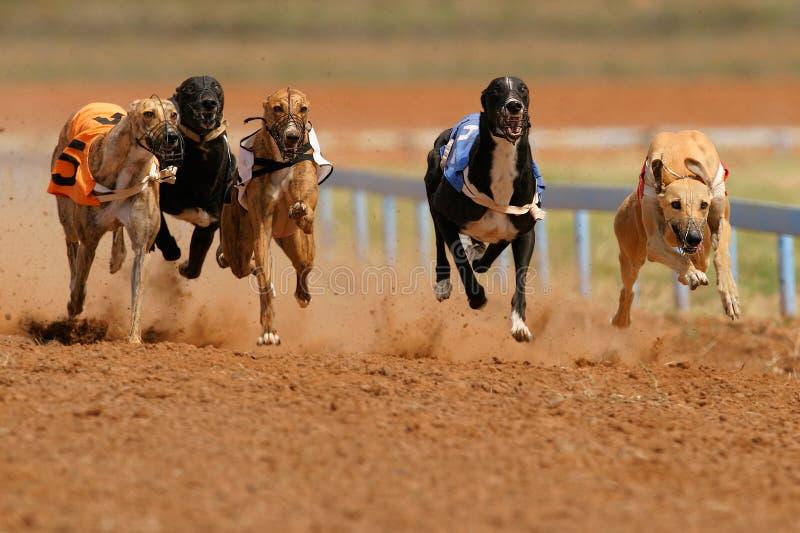 Levrieri Sprinting fotografia stock libera da diritti