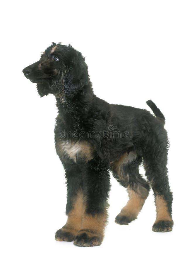 Levriero afgano del cucciolo fotografia stock