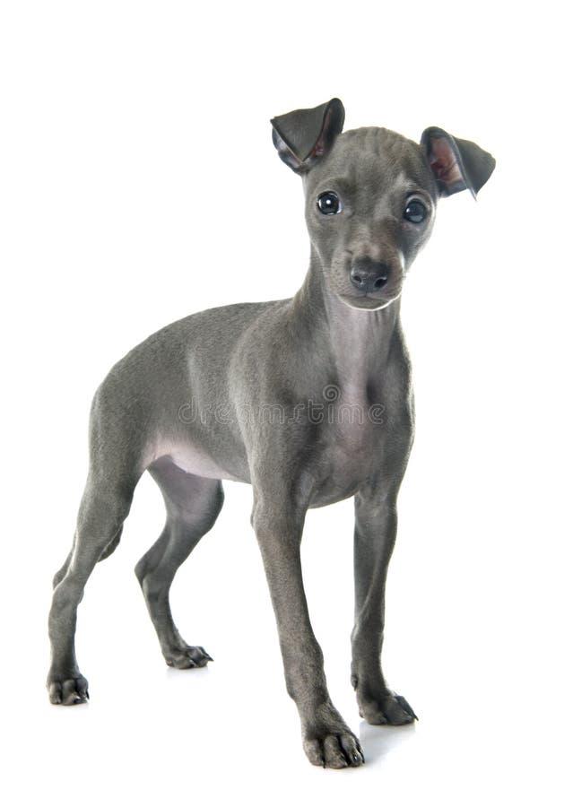Levriero italiano del cucciolo immagine stock