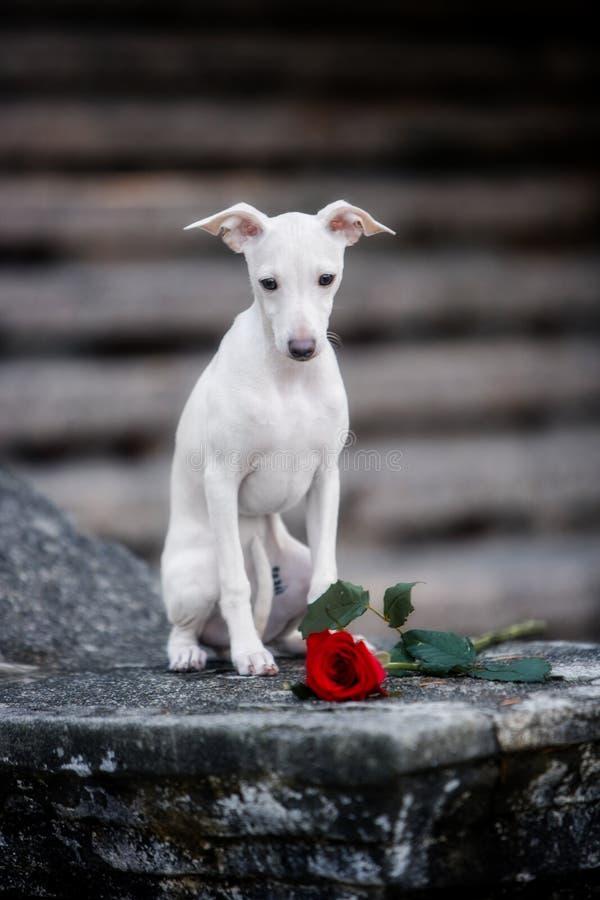 Levriero italiano della razza del cane che si siede sulle scale immagini stock libere da diritti