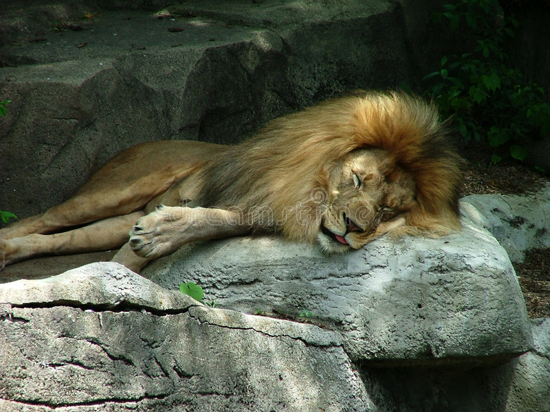 lew śpi zdjęcie stock