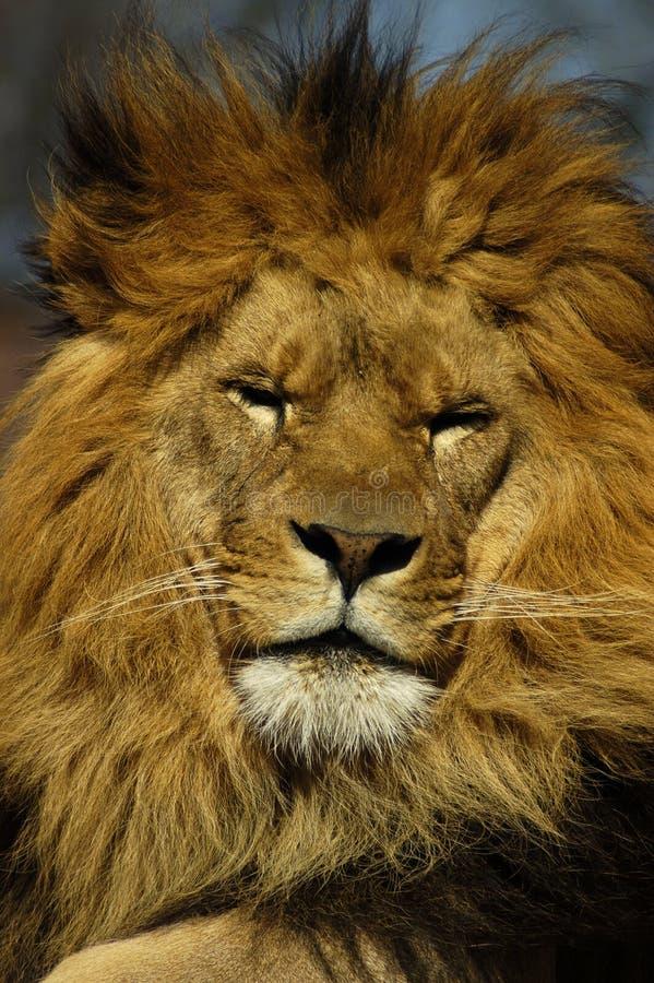 lew śpi zdjęcia stock