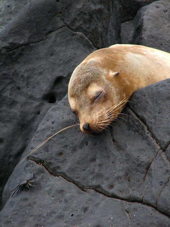 lew śpi mórz fotografia stock