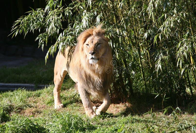 Download Lew zdjęcie stock. Obraz złożonej z twarz, safari, samiec - 2061710