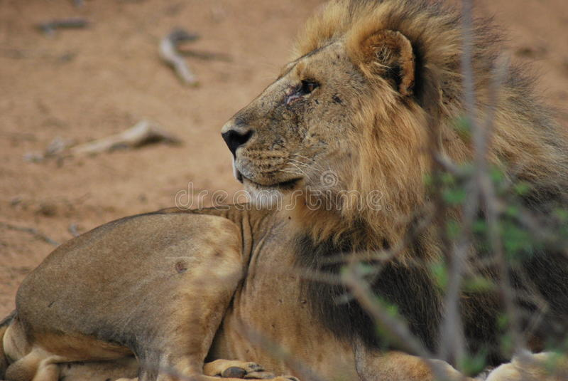 lew zdjęcie royalty free