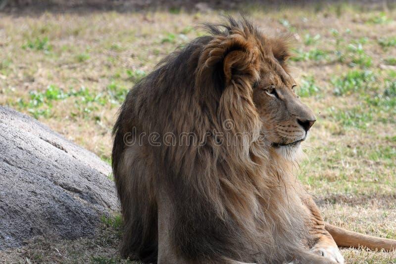Lew Afryka obraz royalty free