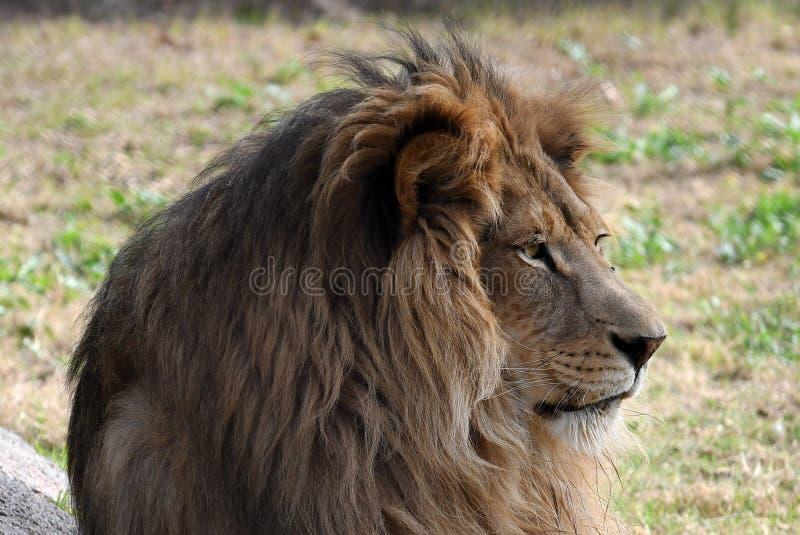 Lew Afryka zdjęcie royalty free