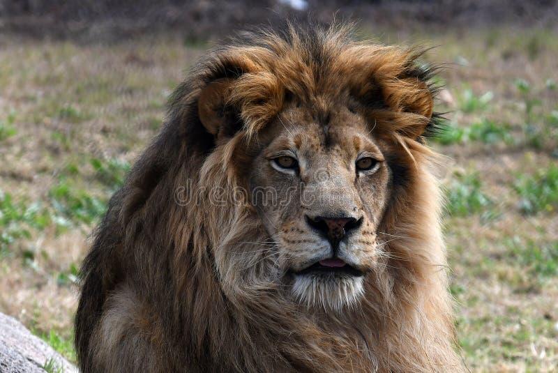 Lew Afryka zdjęcia stock