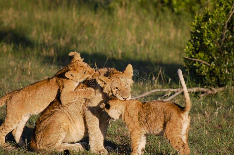 Lew Cubs z matką - Masai Mara, Kenja - fotografia royalty free