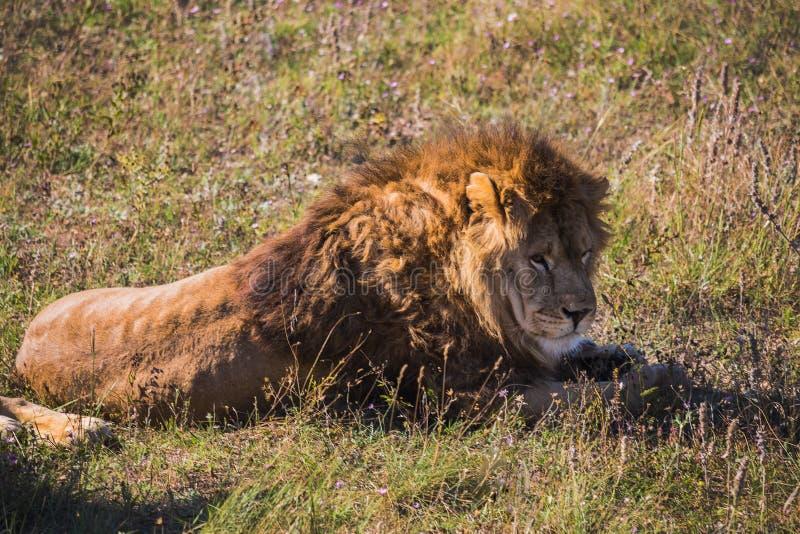 Lew duma w naturze obrazy royalty free