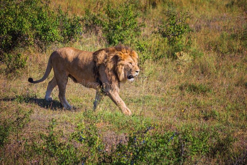 Lew duma w naturze obraz stock