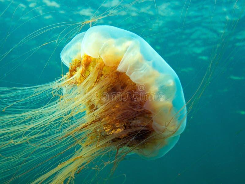 Lew grzywy jellyfish zdjęcia stock
