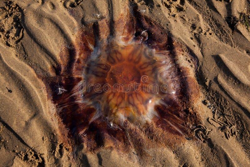 Lew grzywy jellyfish obrazy stock