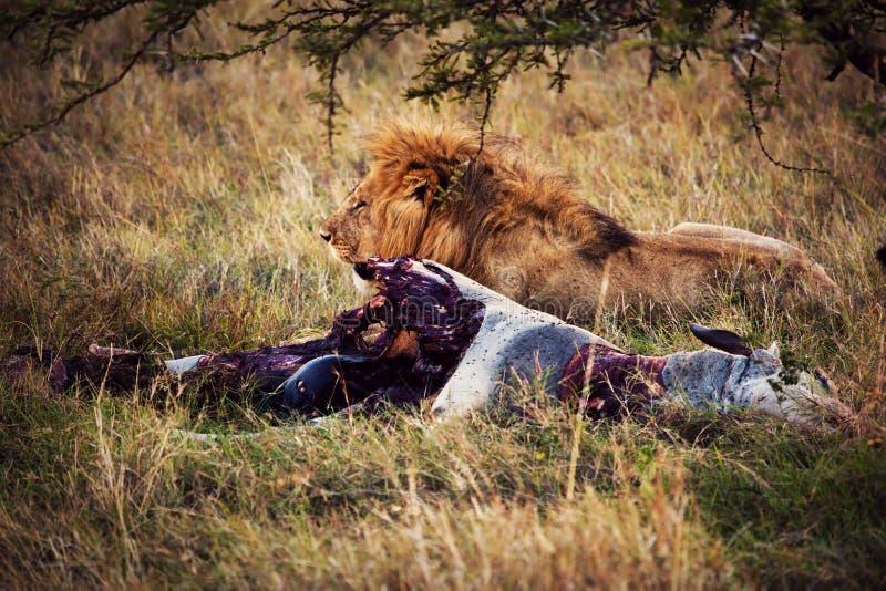 Download Lew I Jego żerujemy Na Sawannie, Serengeti, Afryka Obraz Stock - Obraz złożonej z africa, niebezpieczeństwo: 28951245