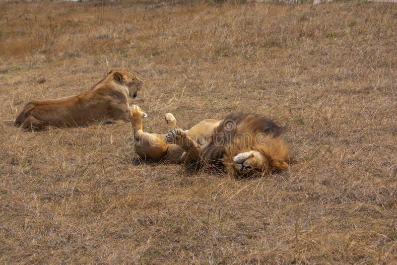 Lew i lwica relaksuje w suchej trawiasty teren trawie zdjęcie royalty free