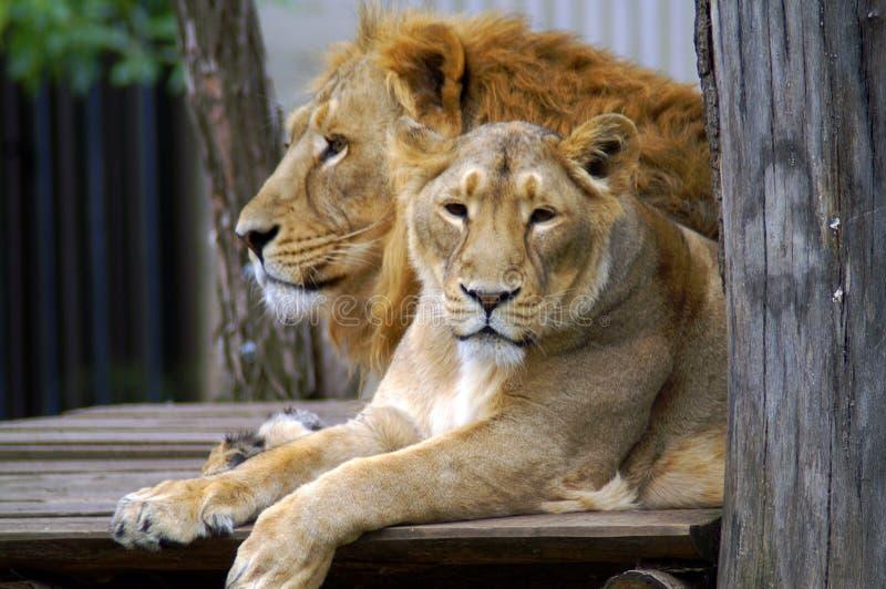 Lew i lwica w zoo obrazy stock
