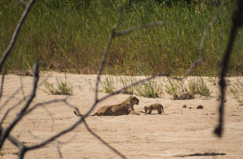 Lew lwica w Kruger parku narodowym i lisiątko zdjęcie stock