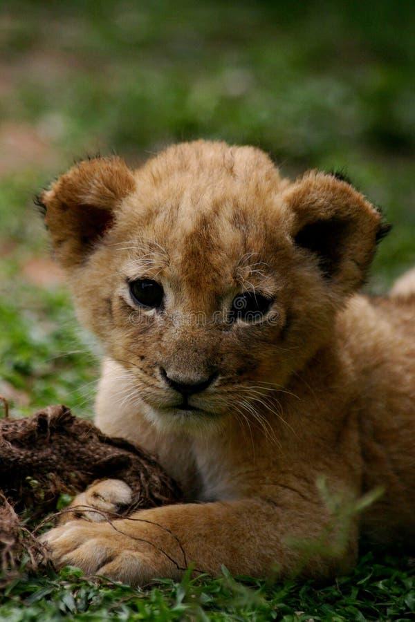 lew młode obrazy royalty free
