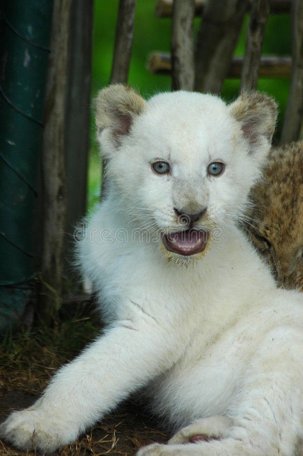 lew młode white obrazy royalty free