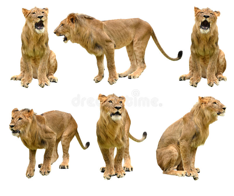 Lew odizolowywający obraz royalty free